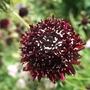 Scabiosa_atropurpurea_chile_black_