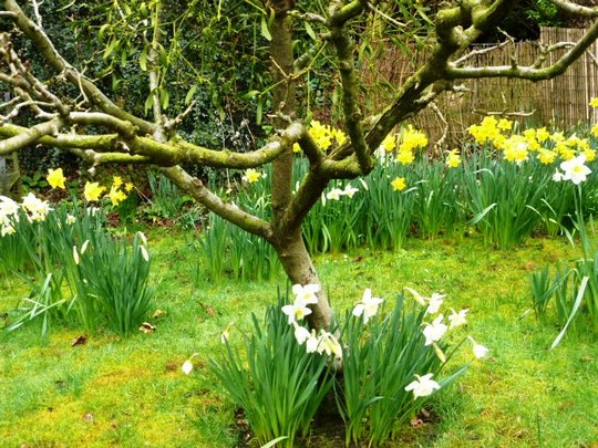 Daffodils  round my old Apple trees