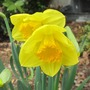 First two Daffodils