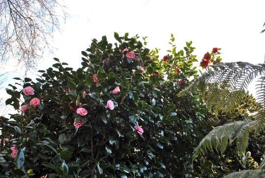 Camellias against an early evenings sky..... (Camellia japonica (Camellia)?)