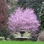 Ornamental flowering plum