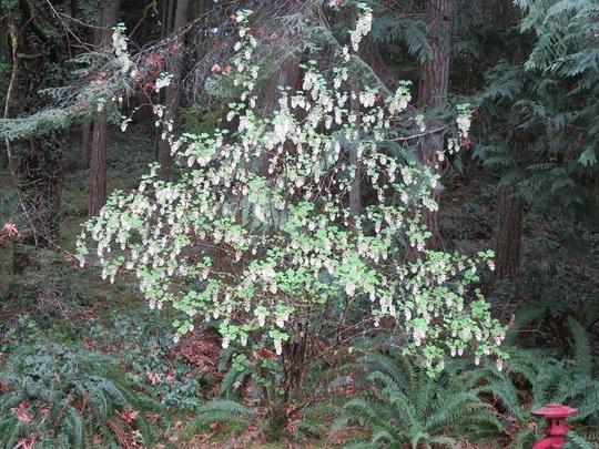 Ribes sanguineum White Icicle (Ribes sanguineum White Icicle)