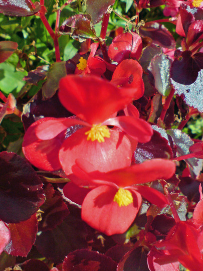 begonia (begonia semperflorens)