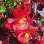 begonia (begonia semperflorens)