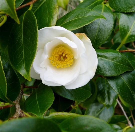 Camellia japonica 'Devonia' - 2016 (Camellia japonica 'Devonia')