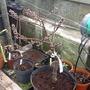 Nectarine Garden Beauty. (Prunus persica (Peach / Nectarine))