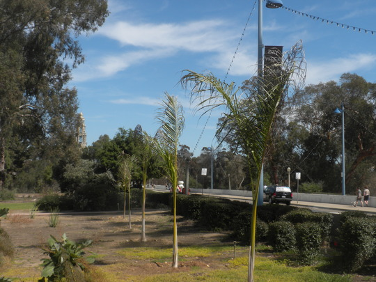 Royal Palms  (Roystonea regia) - Cuban Royal Palms (Royal Palms  (Roystonea regia) - Cuban Royal Palms)