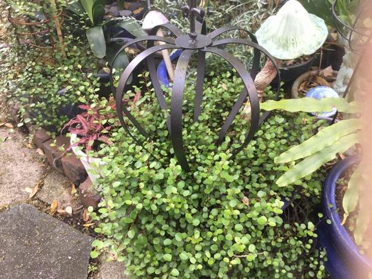 Angel Vine crown topiary