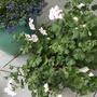 White Ivy Geranium