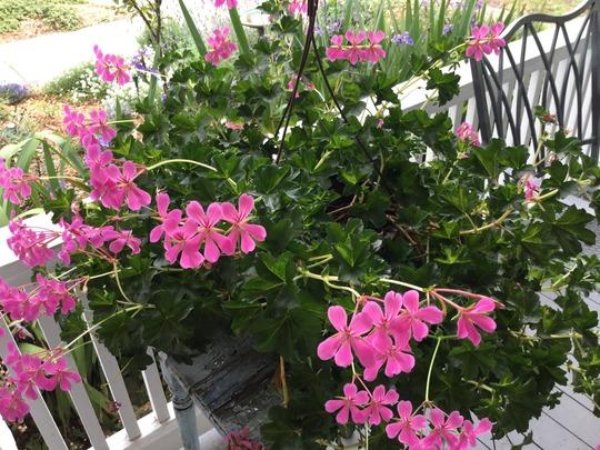 Swiss balcony geranium on my porch grows on you - Care geraniums flourishing balcony porch ...