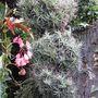 My air plant tree. (Tillandsia bergeri)