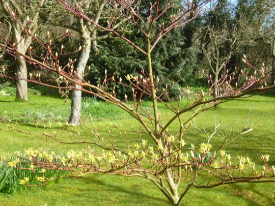 Cornus controversa variegata, budding (Cornus controversa Variegata)
