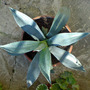 agave 01 (Agave americana (Century plant))