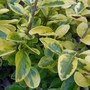 Ligustrum 'Aurea' (Ligustrum ovalifolium (Golden privet))