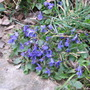 Patch of wild violets in the garden.