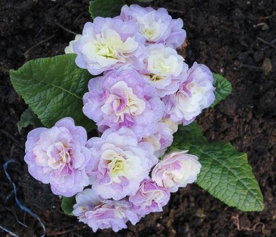 Primula vulgaris BELARINA 'Pink Ice' (Primula vulgaris BELARINA 'Pink Ice')