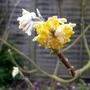 Edgeworthia chrysantha - 2016 (Edgeworthia chrysantha)