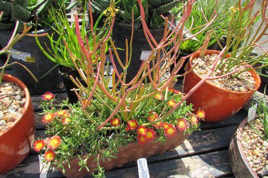 At the nursery again.. (Euphorbia tirucalli (Milk Bush))