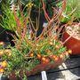 Euphorbia tirucalli (Milk Bush)