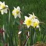 Daffodil Ellen (Narcissus)