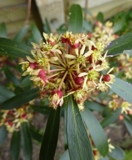 Drimys lanceolata 'Red Spice' (Drimys lanceolata)