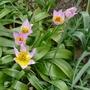 Tulipa saxatilis - 2016 (Tulipa saxatilis)