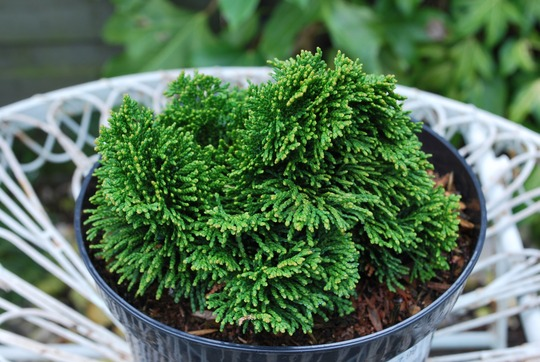 Chamaecparis obtusa Aurora... (Chamaecyparis obtusa (Hinoki Cypress)Aurora...)