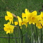 King Alfred (Narcissus)