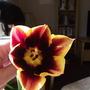Tulip Gavota (Tulipa triumph (Triumph Tulip))