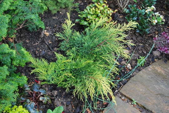 Juniperus  Carberry Gold.. (Juniperus pfitzeriana Carberry Gold.)