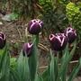 tulip jackpot (tulipa)