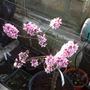 Blossom on the Nectarine (Prunus persica (Peach / Nectarine))
