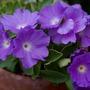 """Primula hybrid """"Clarence Elliott"""" (Primula marginata (Marginate Primrose))"""