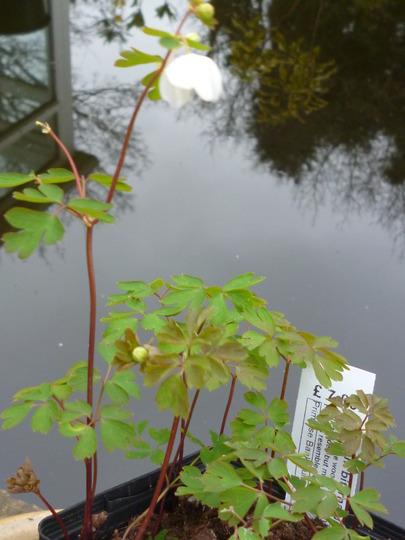 Isopyrum biternatum (Isopyrum biternatum)