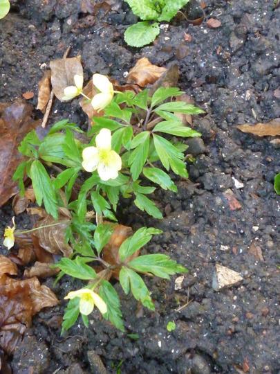 Anemone x lipsiensis pallida (Anemone x lipsiensis pallida)