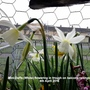 Mini-Daffs (White) flowering in trough on balcony railings 04-04-2016 (Daffodil)