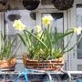 Rockery Daffodils 'Minnow' flowering on balcony railings 03-04-2016 003 (Daffodil)