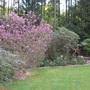 Magnolia Susan - April 8 (Magnolia Susan)