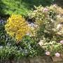 Forsythia suspensa (Forsythia suspensa)
