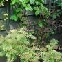 Foliage corner...... (Cercidiphyllum japonicum (Katsura tree))