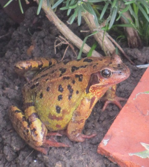 Frog or Toad ?