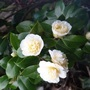 "Camellia ""Jury's Yellow"""