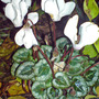 cyclamen at night (Cyclamen hederifolium)