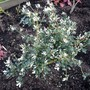 For Amy...my Osmanthus delavayi is flowering now! (Osmanthus delavayi)