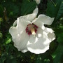 Hibiscus_syriacus_red_heart_