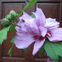Hibiscus_syriacus_lady_bracknell_before