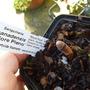Sanguinaria canadensis 'Flore pleno' (Sanguinaria canadensis 'Flore pleno')