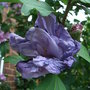 Hibiscus_syriacus_lady_bracknell_after