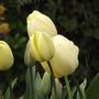 Ivory Floradale (Tulipa Darwin)