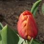 Cairo (Tulipa triumph (Triumph Tulip))